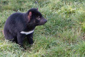 le diable de tasmanie noir